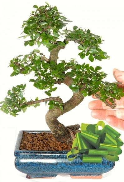 Yaklaşık 25 cm boyutlarında S bonsai  Bursa çiçekçisi hediye çiçek yolla