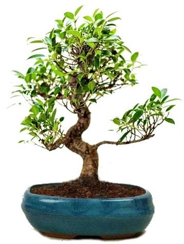 25 cm ile 30 cm aralığında Ficus S bonsai  Bursa cicekci bursaya çiçek yolla