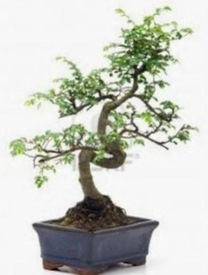 S gövde bonsai minyatür ağaç japon ağacı  bursa çiçekçiler çiçek satışı