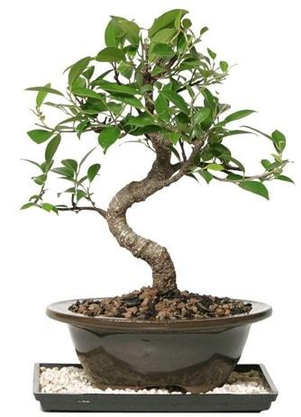 Altın kalite Ficus S bonsai  Bursaya çiçek yolla  Süper Kalite