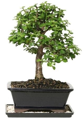 15 cm civarı Zerkova bonsai bitkisi  Bursa çiçekçisi hediye çiçek yolla