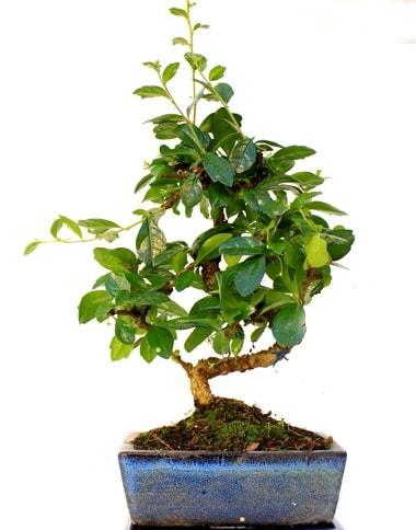 S gövdeli carmina bonsai ağacı  çiçek yolla bursa  Minyatür ağaç
