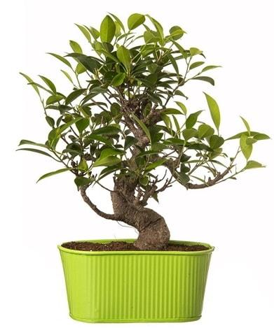 Ficus S gövdeli muhteşem bonsai  Bursa çiçekçisi hediye çiçek yolla