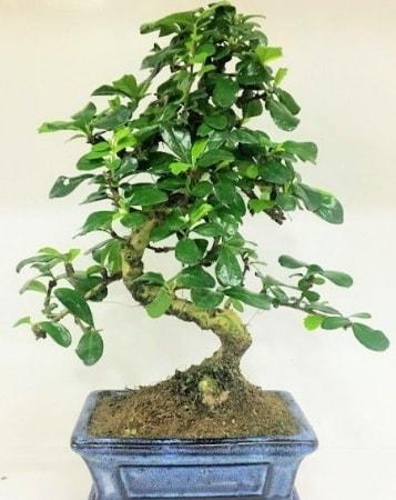 Zelkova S gövdeli Minyatür ağaç Bonzai  online bursa çiçek siparişi