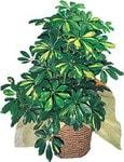 Bursa çiçek çiçekçi  Schefflera gold